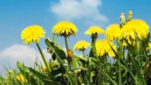 Maslačak - Mršavljenje uz pomoć prirode